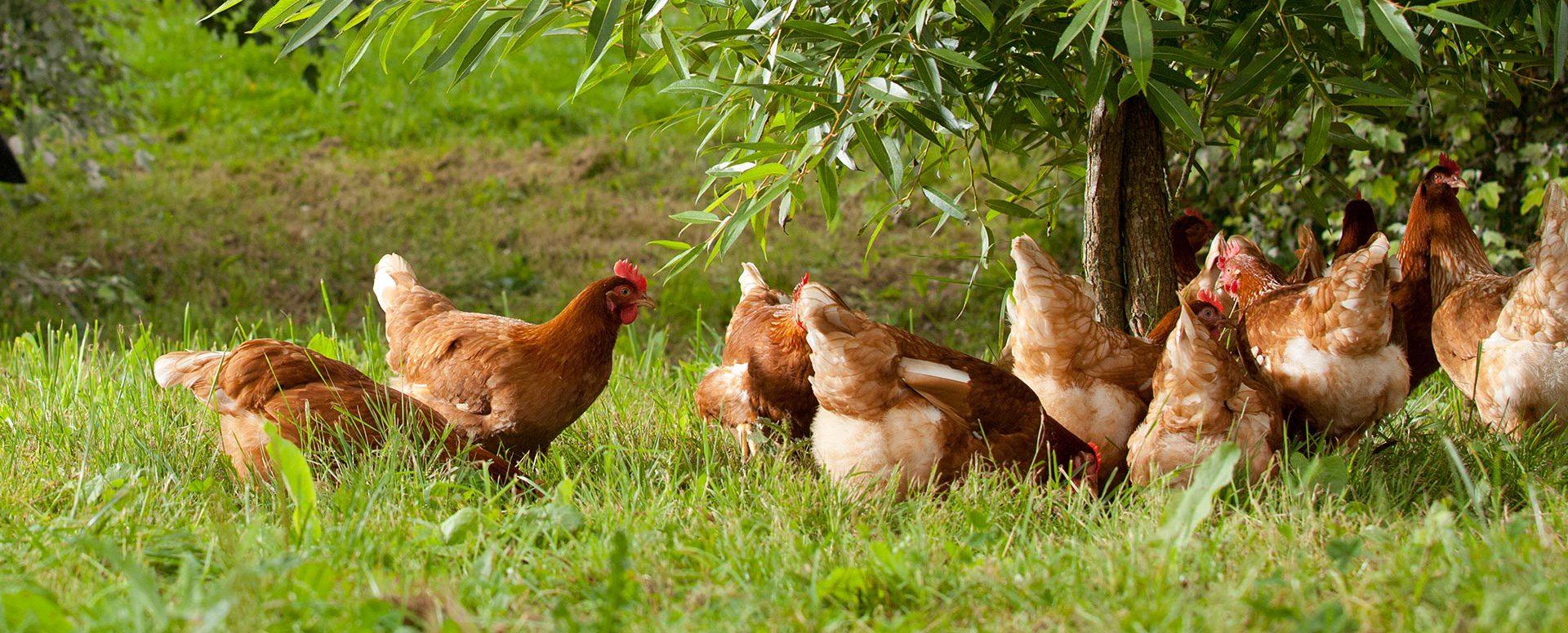 Happy Hens - Happy Egg Happy Egg